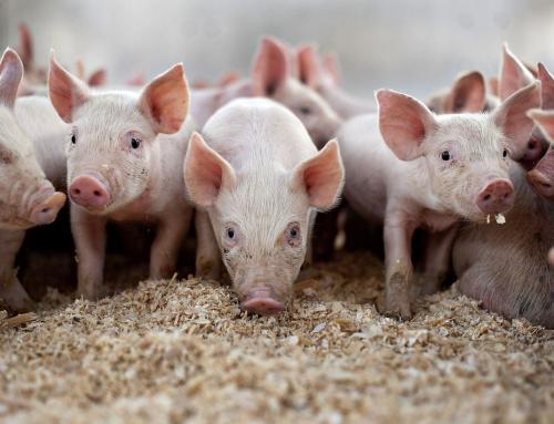 Техник-животновъд – Свиневъдство