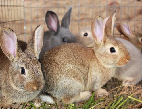 Техник-животновъд – Зайцевъдство